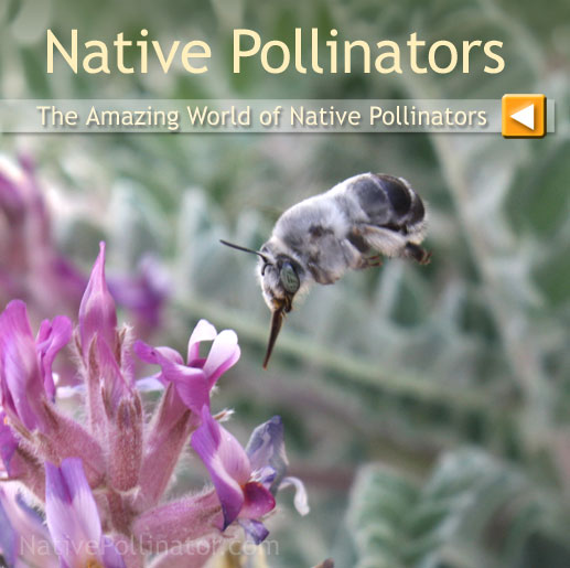leaf cutter bees